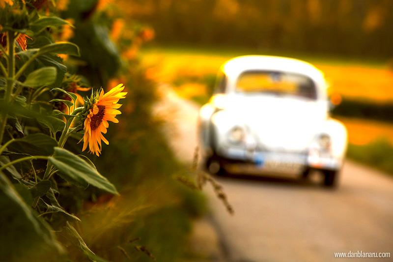perlutza_sunflower_4